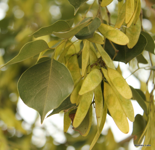 indian rosewood leaves and fruit