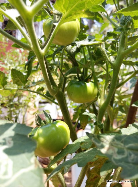 unschooling is like growing tomatoes