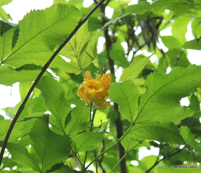 yellow bells leaves and flowers_Delhi