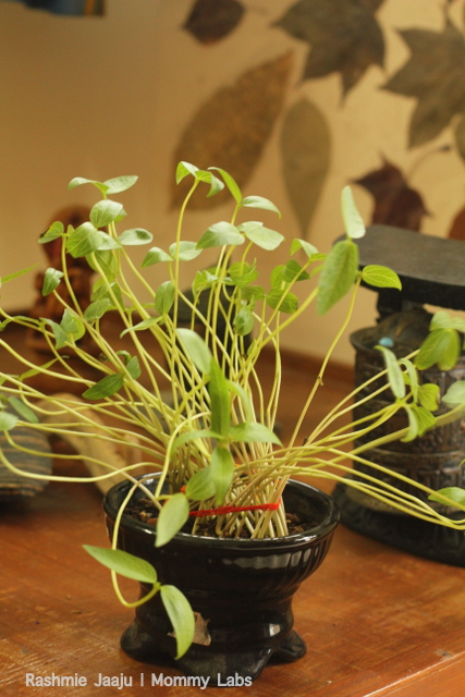 Moong Beans Seedlings_on my nature table