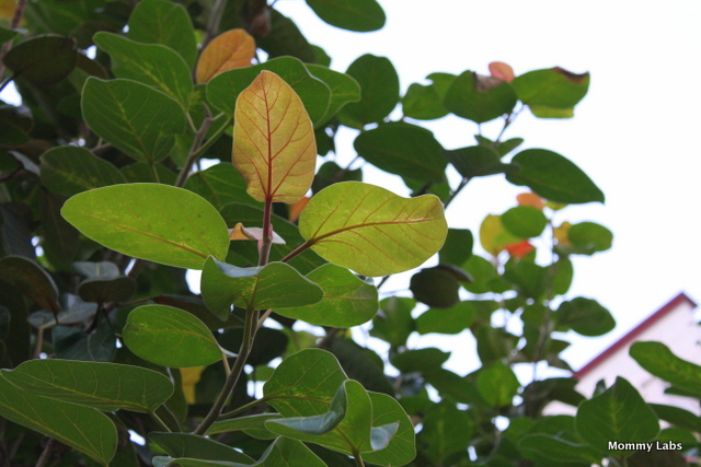 leaves of Indian Banyan Tree or Indian Fig Tree